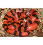 Гондурасская королевская (молочная) змея(Lampropeltis triangulum hondurensis)