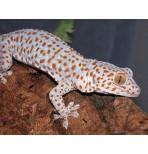 Токи (Gekko gecko)