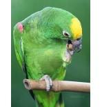 Амазон суринамский или желтолобый(Amazona ochrocephala)