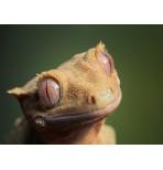 Геккон новокаледонский реснитчатый (Rhacodactylus ciliatus)