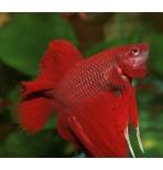 Петушок(бойцовая рыбка)