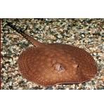 Скат пресноводный ретилятус(Potamotrygon reticulata)